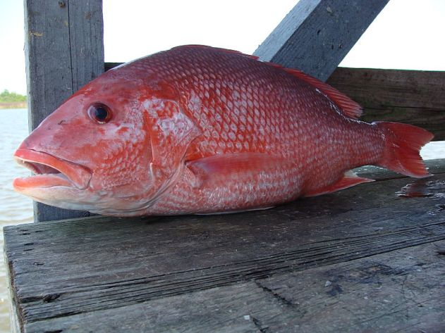 800px-Red_Snapper